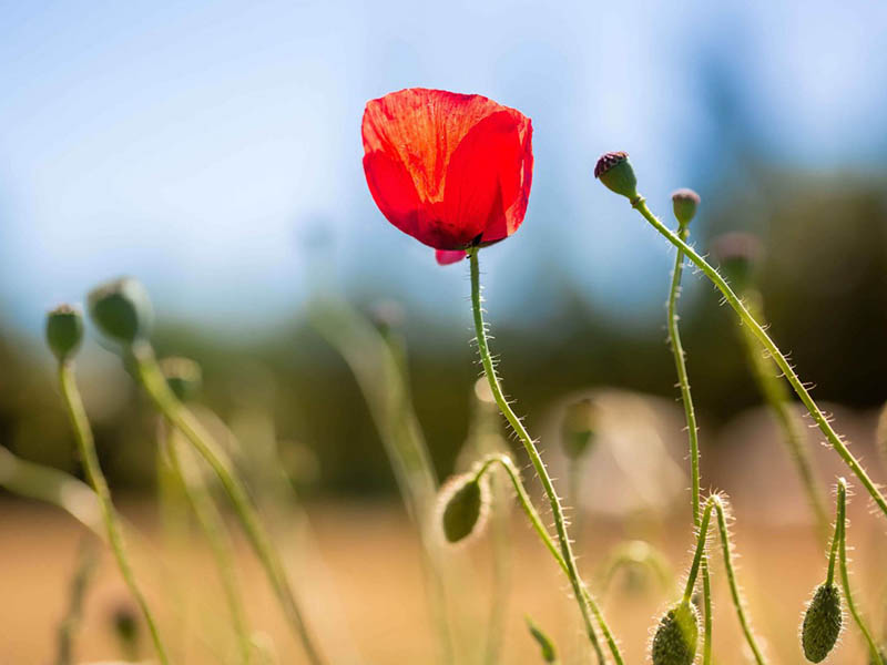 Auf den Spuren der Mohnblume